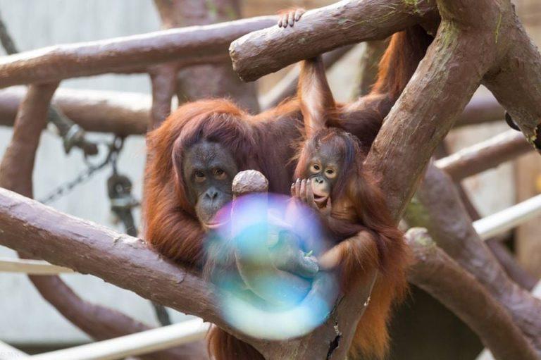 Strage di scimmie allo zoo di Krefeld: colpa dei botti? Un incendio è divampato poco dopo la mezzanotte
